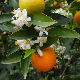 hydrolat fleur oranger