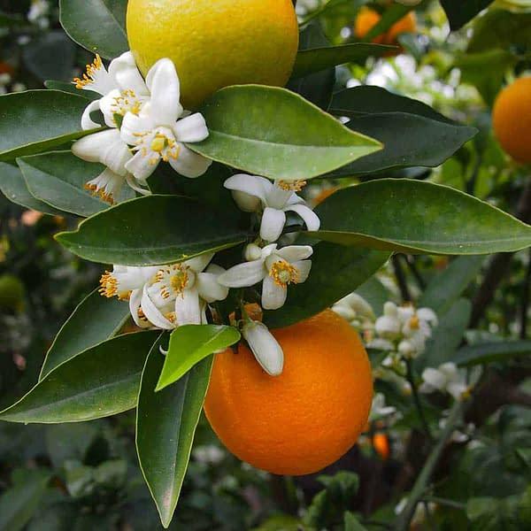 Orange Blossom Hydrolat